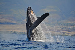 Breaching Humpback Whale. In Maui Hawaii stock photo