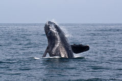 Breaching Humpback Whale Stock Image