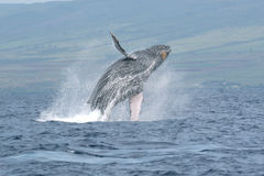 Breaching Humpback Whale Stock Photo