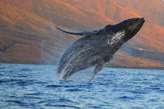 Breaching Humpback Whale. In Maui, HI stock images