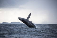 Breaching humpback whale, Craig, Alaska Stock Images