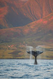 Breaching Humpback Whale Fluke stock images