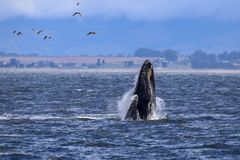 Breaching humpback whale in Monterey Bay, California stock photography