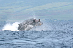 Breaching Humpback Whale Off Maui. A humpback whale breaching off the coast of Maui Stock Images