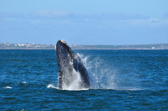 BREACHING JOY 1. A Southern right whale breaching in Walker Bay,Hermanus,South Africa Royalty Free Stock Photos