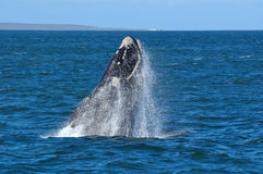 BREACHING JOY 4. A Southern right whale breaching in Walker Bay,Hermanus,South Africa Stock Photography
