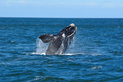 BREACHING JOY 7. A Southern right whale breaching in Walker Bay,Hermanus,South Africa royalty free stock photo