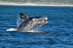BREACHING JOY. A Southern right whale breaching in Walker Bay,Hermanus,South Africa Stock Photos