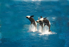 Breaching killer whales. Three killer whales breaching out of the water Stock Photography