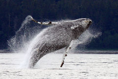 Breaching, Leaping Alaskan Humpback Whale. A playful young humpback whale breaches spectacularly near Juneau, Alaska Stock Images