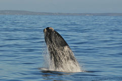 Breaching left 2. A Southern right whale breaching in Walker Bay,Hermanus,South Africa Royalty Free Stock Photo