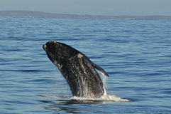 Breaching left 3. A Southern right whale breaching in Walker Bay,Hermanus,South Africa Stock Images