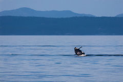 Breaching Orca. In the Strait of Juan de Fuca near Victoria, British Columbia stock photos