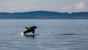 Breaching Orca. In the Strait of Juan de Fuca near Victoria, British Columbia, Canada royalty free stock photos