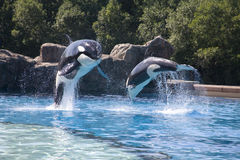 Breaching orca whales Royalty Free Stock Images