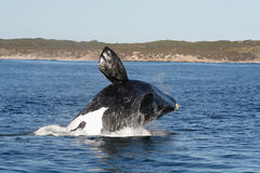 Breaching southern right  C. Asequence of four pics of a southern right whale breaching near Hermanus, South Africa Stock Image