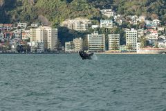 Breaching Southern Right Whale , Wellington, New Zealand stock photo