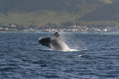 Breaching SRW 2 OF 3. A southern right whale breaching near Hermanus, South Africa. a set of 3 pics Stock Photography