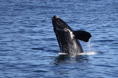 Breaching Whale. A Southern right whale breaching in Walker Bay stock images