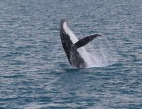 Breaching whale. An adult whale breaches in the calm waters of Platypus bay Royalty Free Stock Photo