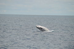 Breaching Whale Calf Royalty Free Stock Images