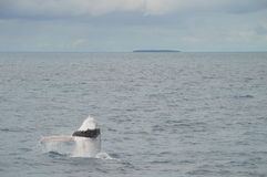 Breaching Whale Calf Royalty Free Stock Photography