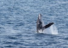 Breaching whale. A whale calf launches into a breach Stock Images