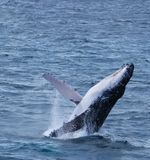 Breaching whale. A whale calf practices breaching stock images