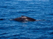 Breaching Whale, Humpback Whale Back on Blue Ocean. The back of a humpback whales above the surface of a blue ocean as it dives underwater stock photos