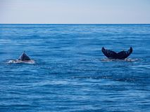 Breaching Whales, Humpback Whale Back and Tail on Blue Ocean stock image