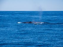 Breaching Whales, Humpback Whale Backs on Blue Ocean. The backs of two humpback whales above the surface of a blue ocean as it dives underwater royalty free stock image