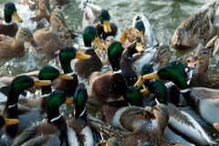 Bread in beak hungry duck Royalty Free Stock Photo