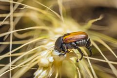 Bread Beetle eats wheat ear. Insect pest of crops Grain Beetle close-up.
