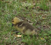 Bread Crumbs and Baby Geese royalty free stock images