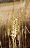 Bread ear Royalty Free Stock Image