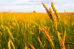 Bread field. A wheat ripens on the bread field Stock Image
