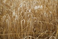 Bread field golden grass wheat growing ground Royalty Free Stock Image