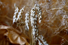 Bread Grain Royalty Free Stock Image