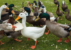 Bread Sharing Ducks. Group of ducks sharing some bread Stock Photos