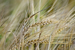 Bread spikelets on the field Royalty Free Stock Photo