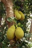 Bread tree. Tropical bread tree in Sri Lanka Stock Photos