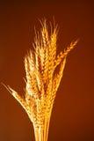 Bread Wheat Stock Image
