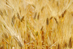 Bread wheat harvest field corn ear Royalty Free Stock Image