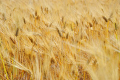 Bread wheat harvest field corn ear Royalty Free Stock Photos