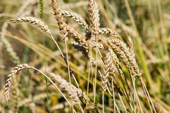 Bread wheat (Triticum aestivum), close-upn. Golden bread wheat (Triticum aestivum), close-up Stock Photography