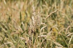 Bread wheat (Triticum aestivum), close-upn. Golden bread wheat (Triticum aestivum), close-up Stock Photo