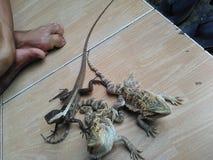 Breaded smok & papuan wodny smok zdjęcie royalty free