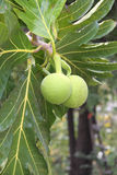 Breadfruit Royalty Free Stock Photo