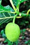 breadfruit Obraz Royalty Free