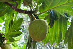 breadfruit Стоковое Изображение